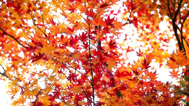 red maple leaves in autumn - maple leaf stock videos and b-roll footage
