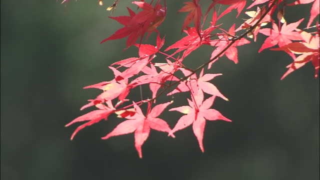 red maple leaves on tree branch nara - branch stock videos & royalty-free footage