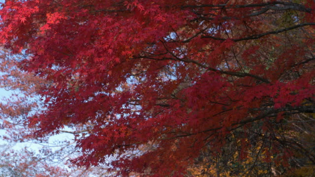 red maple leaves swaying in a wind in autumn - maple leaf stock videos and b-roll footage