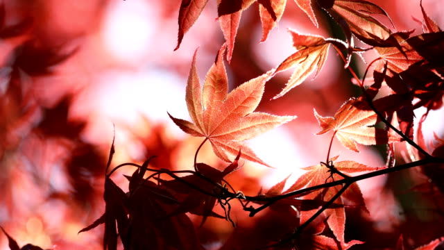 red maple tree branch leaves - swaying stock videos & royalty-free footage