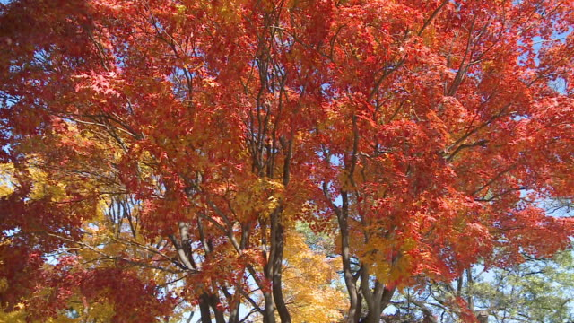 Red maple tree leaves swinging with wind