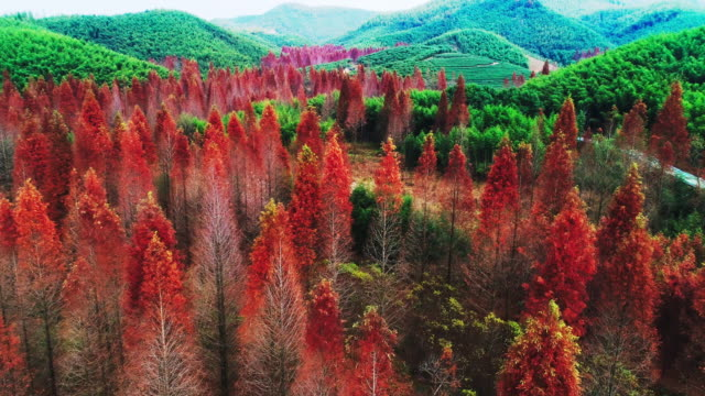 red metasequoia in autumn - zhejiang province stock videos & royalty-free footage