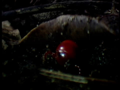 red millipede emerges from leaf litter south africa - animal antenna stock videos & royalty-free footage