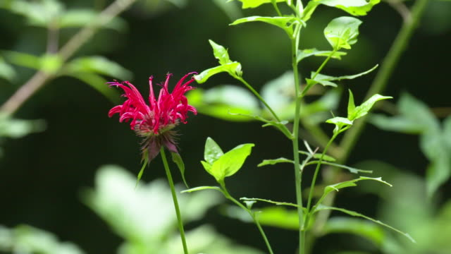 vidéos et rushes de red monarda in forest, nice light slow panning landscape shot - parterre de fleurs