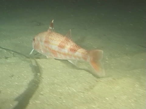 red mullet at night swims over sandy seabed  ws - triglia tropicale video stock e b–roll