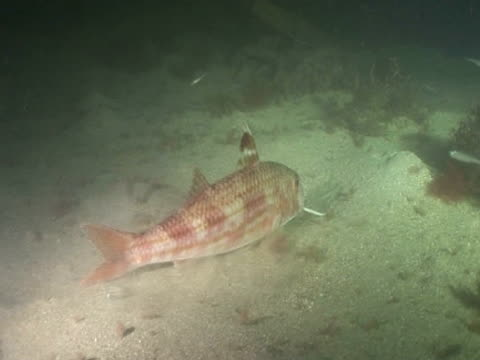 Red Mullet (known as Goatfish in tropical  s) feeding at night