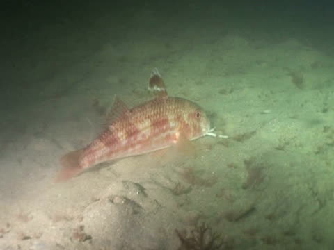 red mullet (known as goatfish in tropical  s) feeding at night  - triglia tropicale video stock e b–roll