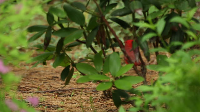 Red northern cardinal behind foliage