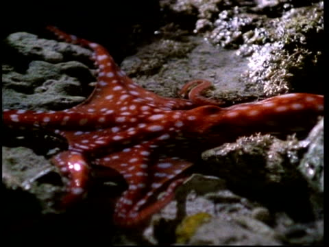 Red octopus moves across rock pools, Australia