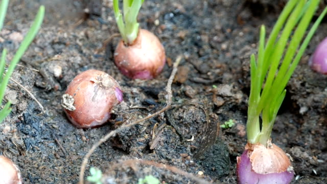 red onions planting in home garden field