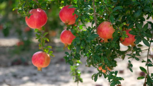 Red orange colour grapefruit hanging on lush green foliage bushes, beauty in nature. Harvest autumn in souther Spain