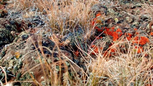 Red orange lichen macro Summit Steens Mountain Near Malhuer Wildlife Refuge 17
