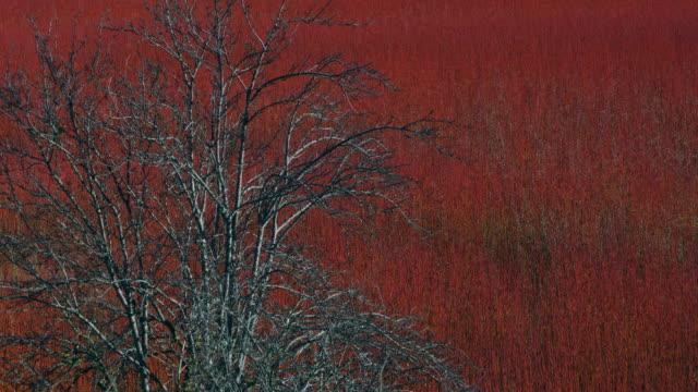 vídeos de stock e filmes b-roll de red osier plantation in serrania de cuenca, cuenca, castilla - la mancha, spain, europe - cornus
