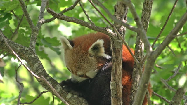 """red panda, ailurus fulgens, adult standing in tree, licking its paw, grooming, real time"" - panda stock-videos und b-roll-filmmaterial"
