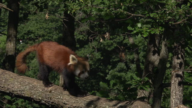 """red panda, ailurus fulgens, adult walking on branch, real time"" - panda stock-videos und b-roll-filmmaterial"
