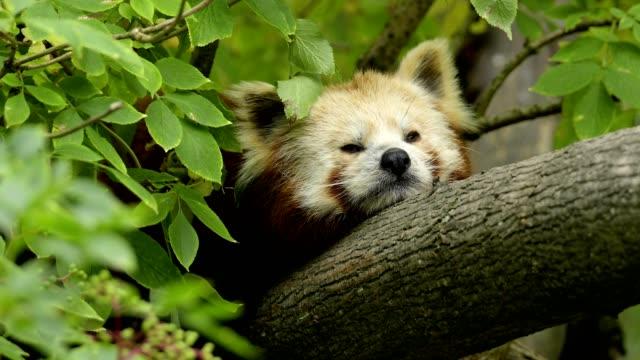 red panda, ailurus fulgens, in tree - panda stock-videos und b-roll-filmmaterial
