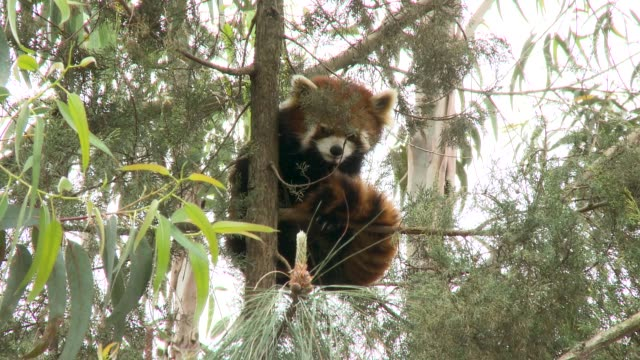 red panda gets comfortable in tree and sleeps - panda stock-videos und b-roll-filmmaterial