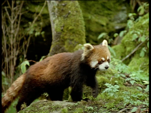 red panda looks around then walks away, himalayas - panda stock-videos und b-roll-filmmaterial