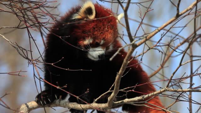 vídeos y material grabado en eventos de stock de ms red panda sleeping on tree / japan - panda animal