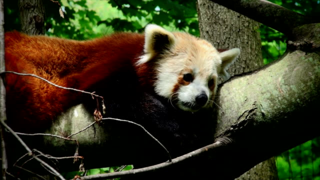 vídeos y material grabado en eventos de stock de panda rojo - panda animal