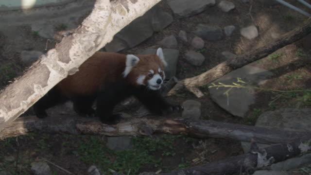 Red panda walking on tree branch