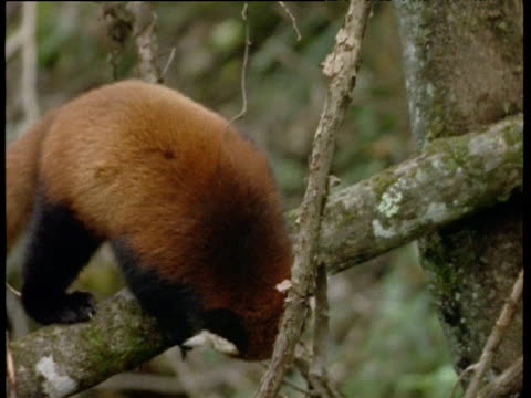 vídeos y material grabado en eventos de stock de red panda walks along branch, himalayas - panda animal