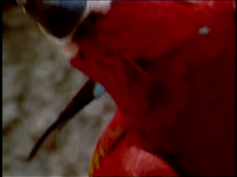 a red parrot chews on a piece of clay at a clay lick. - 動物の口点の映像素材/bロール