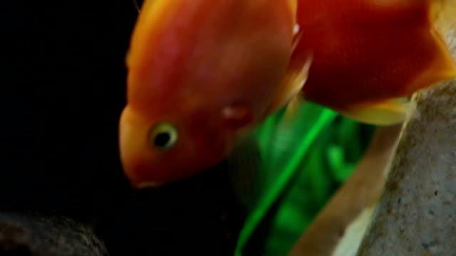 stockvideo's en b-roll-footage met rode papegaai cichlid vissen in aquarium - in het water levend organisme