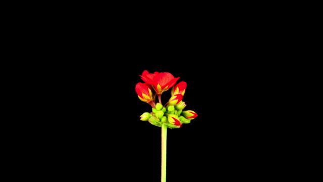 赤色 pelargonium 開花;time lapse (低速度撮影) - ゼラニウム点の映像素材/bロール