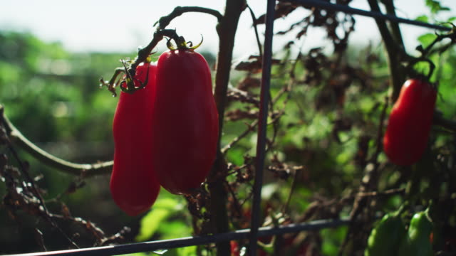 red peppers hang to a wilted plant at the end of season in a farm-to-table organic garden. - farm to table stock videos & royalty-free footage