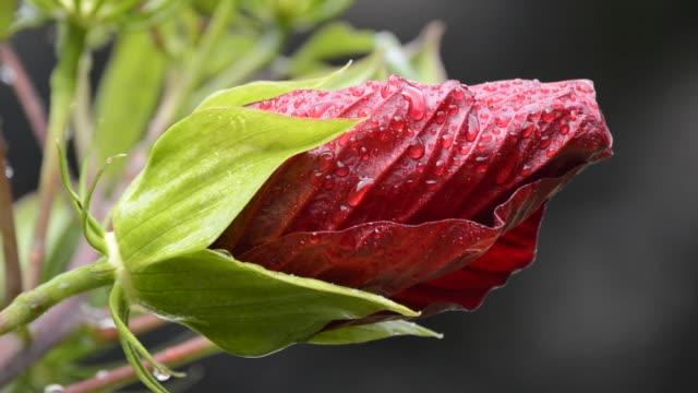 red perennial hibiscus bud - eibisch tropische blume stock-videos und b-roll-filmmaterial