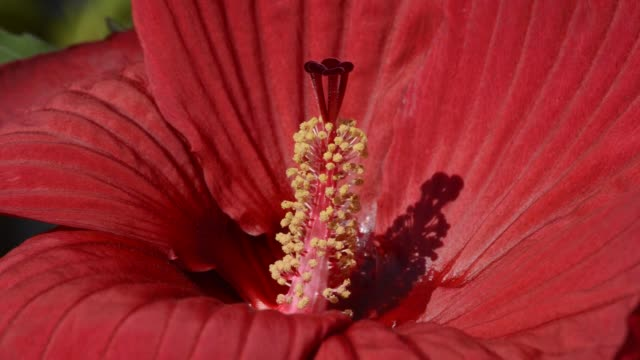 Red perennial hibiscus flower