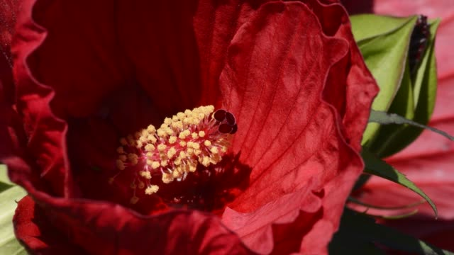 red perennial hibiscus flower - perennial stock videos & royalty-free footage
