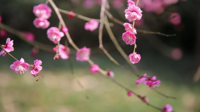 red plum blossoms blooming in spring,hangzhou,zhejiang,china - 30 seconds or greater stock videos & royalty-free footage
