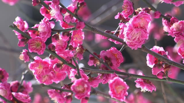 red plum blossoms - kanto region stock videos & royalty-free footage