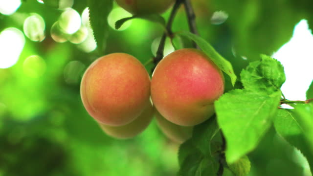 red plum on tree - plum stock videos & royalty-free footage