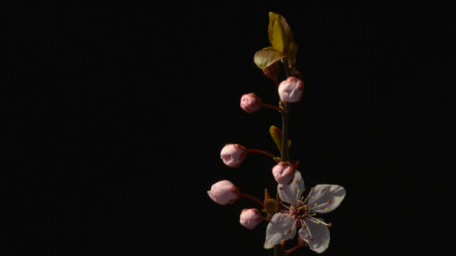 red plum tree flower bud opening - フォールズチャーチ点の映像素材/bロール