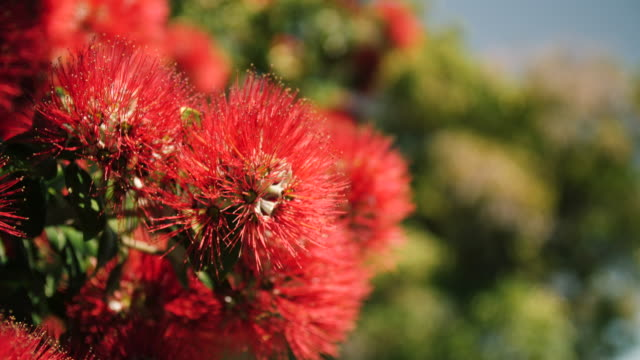 red pohutukawa flowers move in the breeze - akaroa stock videos & royalty-free footage