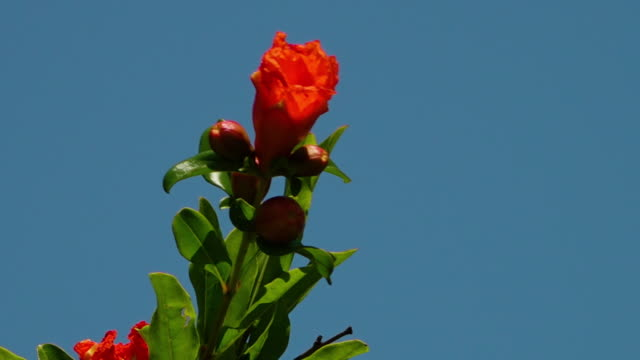 vidéos et rushes de a red pomegranate flower and round fruit on a green leaved stem - extreme close up