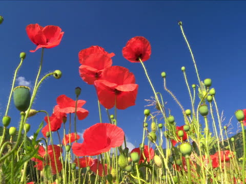 stockvideo's en b-roll-footage met red poppies against blue sky - wiese
