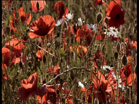 red poppies and white daises swaying in summer meadow - armistice stock videos & royalty-free footage