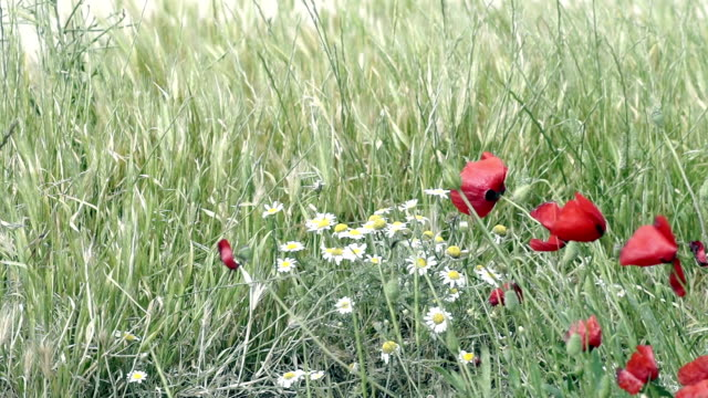 hd: red poppies and white daisies - wildflower stock videos and b-roll footage