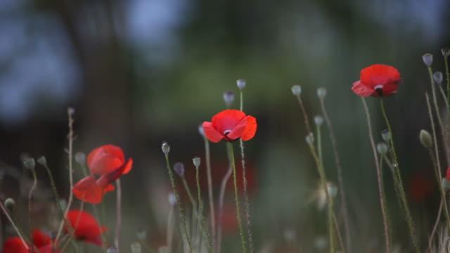 red poppies in barley field swinging in wind - selimaksan stock videos & royalty-free footage