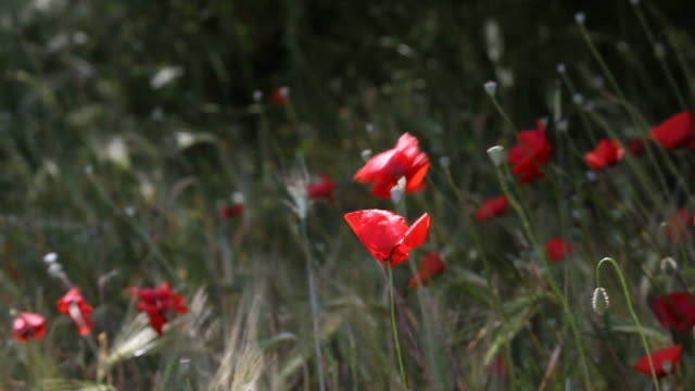 Red Poppies In Barley Field Swinging In Wind