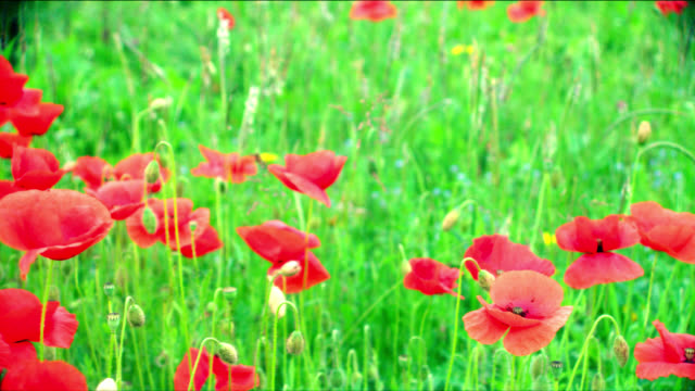 Red poppies sway in a green summer meadow.