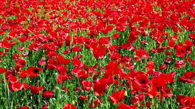 Roter Mohn Feld; Kamerafahrt mit DOLLY