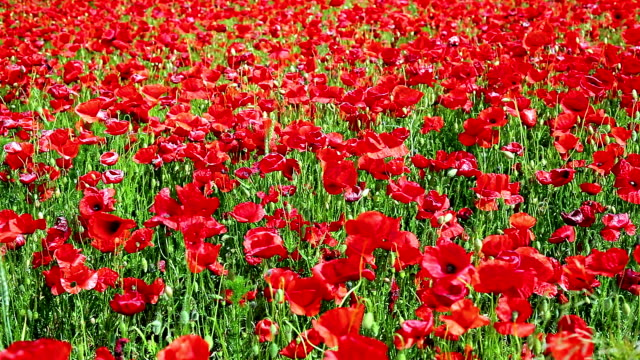 red poppy field; dolly shot - tracking shot stock videos & royalty-free footage