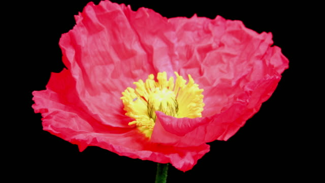 Red poppy flower blooming 4K