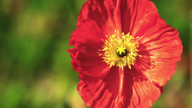 Red Poppy flower in field.