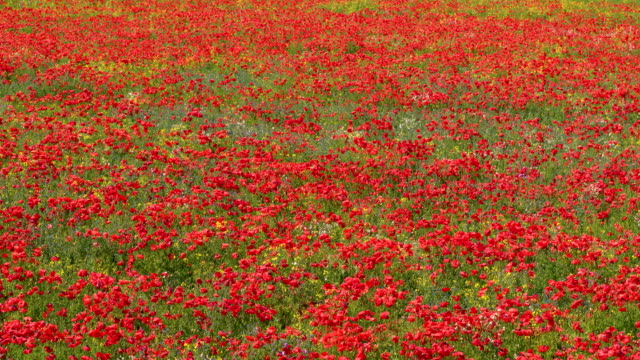 vidéos et rushes de red poppy flowers & rapeseed plant, staxton, north yorkshire, england - fleur